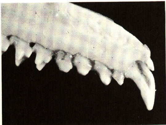 Venom flows through the groove in the large second incisor to deliver a poisonous bite.